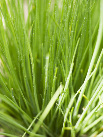 Fresh Chives in the Open Air Photographic Print