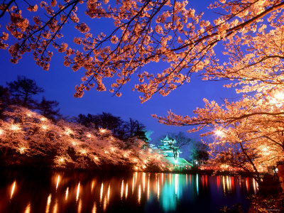 Night photography of cherry blossoms and takada castle, cherry blossoms photo