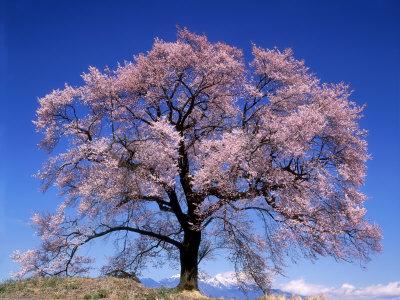 Cherry Blossoms and Mt. Yastu Photographic Print
