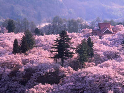 Cherry Blossom countryside forest field, cherry blossom photos