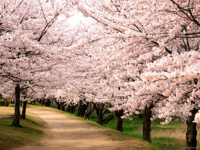 Row of Cherry Trees Photographic Print