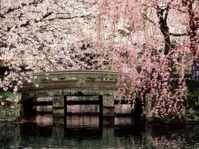 Cherry Blossoms, Mishima Taisha Shrine, Shizuoka Photographic Print