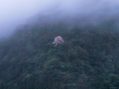 Cherry Tree in the Misty Forest Photographic Print