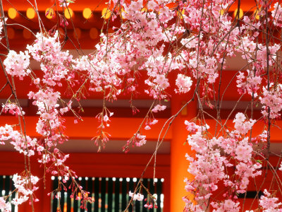 Cherry Blossoms, Heian-Jingu Shrine, Kyoto, Japan Photographic Print