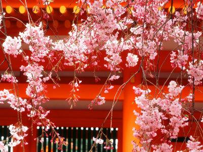 Cherry Blossoms, Heian-Jingu Shrine, Kyoto, Japan Photographic Print