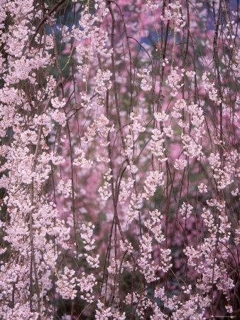 Weeping Cherry Tree Photographic Print