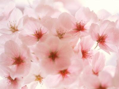 Cherry blossoms, cherry blossom photos