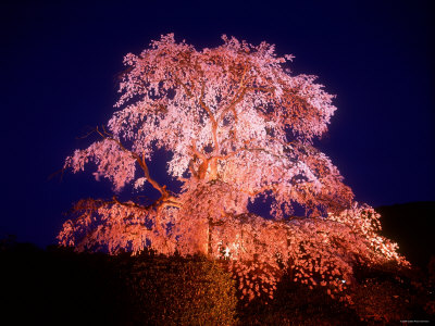 Cherry Blossoms by Night Photographic Print