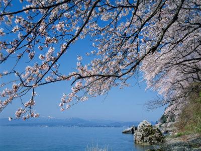 Cherry Blossoms at Lake Biwa Photographic Print