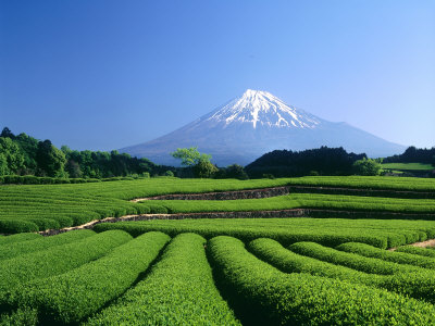 Mt. Fuji and Tea Garden, Fuji City, Shizuoka, Japan Photographic Print