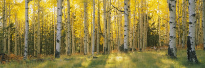 Yellow aspen trees in coconino national forest in Arizona USA green, yellow, grey, gray, forest photo colors Autumn Fall landscape photograph