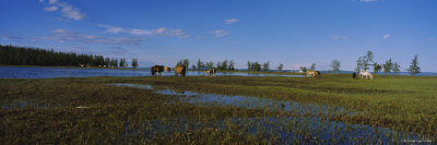 Horses Grazing in a Field, Lake Khuvsgul, Independent Mongolia Photographic Print