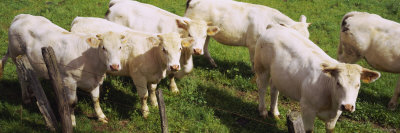 Herd of Cows Standing in a Field, Charolais, Burgundy, France Photographic Print by  Panoramic Images