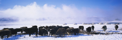 Herd of Yaks on a Polar Landscape, Uvurkhangai Aimag, Independent Mongolia Photographic Print by  Panoramic Images