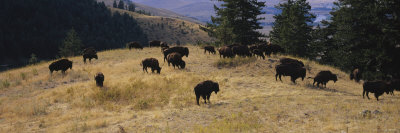 Bisons Grazing, National Bison Range, Moiese, Montana, USA Photographic Print by  Panoramic Images