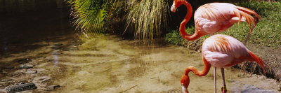Two Flamingos by a Pond, Jungle Gardens, Sarasota, Florida, USA Photographic Print by  Panoramic Images