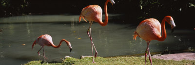 Three Flamingos Foraging by a Pond, Jungle Gardens, Sarasota, Florida, USA Photographic Print by  Panoramic Images