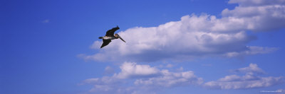 Brown Pelican Flying in the Sky, Florida, USA Photographic Print by  Panoramic Images