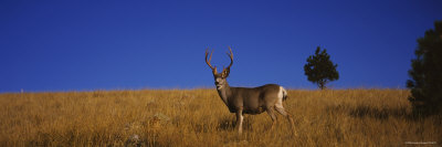 Side Profile of a Mule Deer Standing in a Field, Montana, USA Photographic Print by  Panoramic Images