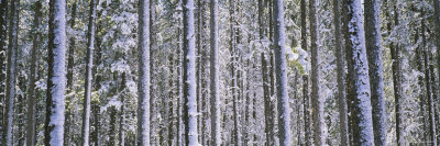 Lodgepole Pine Trees in a Forest, Montana, USA Photographic Print by  Panoramic Images