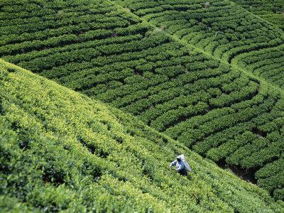 Tea Fields, Nuwara Eliya, Sri Lanka Photographic Print by Steve Vidler