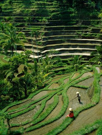 Ubud, Rice Terraces, Bali, Indonesia Photographic Print by Steve Vidler