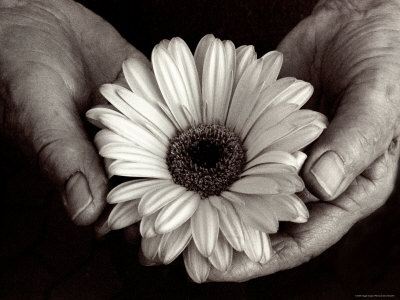 Daisy Cupped in Tired Hands Photographic Print by Stefanie Schneider
