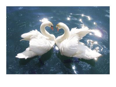 Swans Prints