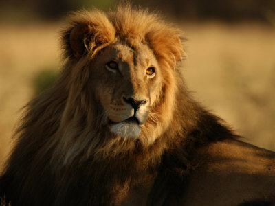 Lions, Namibia, Africa Photographic Print by Keith Levit