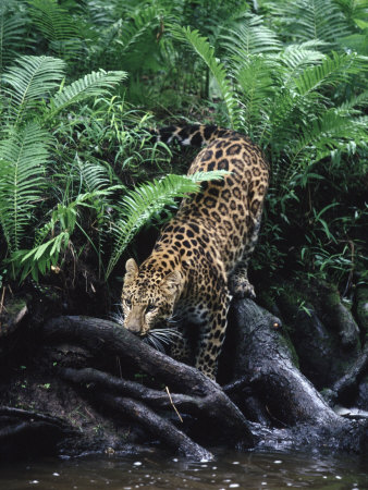 Amur Leopard, Panthera P Orientalis, Endangered Photographic Print ...