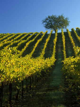Fall Foliage in Vineyard, Sonoma, CA Photographic Print by Inga Spence