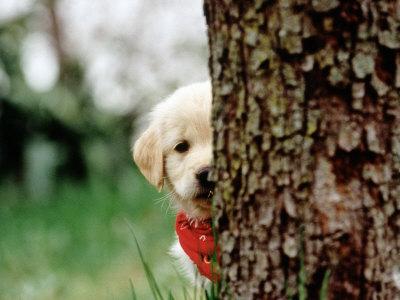 cute golden retriever puppies pictures. 6-week-old Golden Retriever