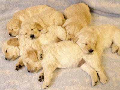 golden retriever pup. Sleeping Golden Retriever