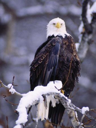 Bald Eagle, Chilkat River, AK Photographic Print by Elizabeth DeLaney