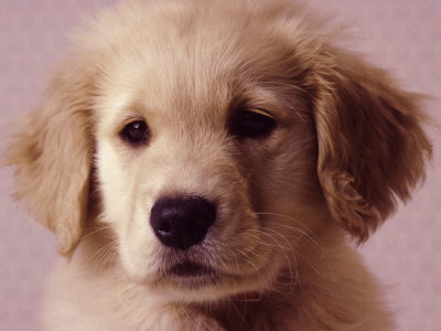 golden retriever wallpapers for desktop. Golden Retriever Puppy by