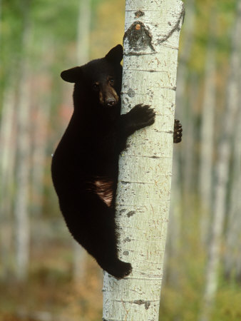 Black Bearursus Americanuscub Sat up Tree, Autumn Foliage Photographic Print by Mark Hamblin