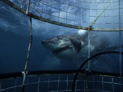 Great White Shark, Eating Bait, S. Africa Stampa fotografica di Gerard Soury