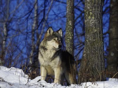 Gray Wolf, Canis Lupus Stampa fotografica di Franz, D. Robert