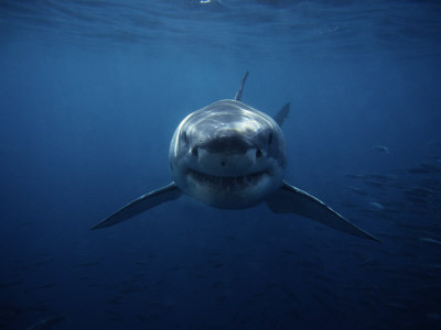 Great White Shark, Swimming, South Australia Fotografie-Druck von Gerard Soury