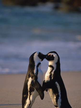 African Penguins Showing Affection Photographic Print by Stuart Westmorland