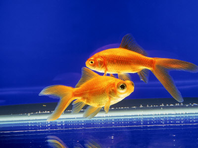goldfish. Two Goldfish Swimming in Bowl,