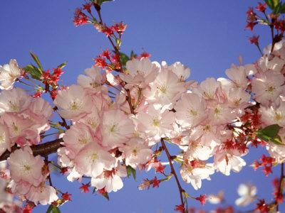 Cherry Blossom Photographic Print by Rudi Von Briel