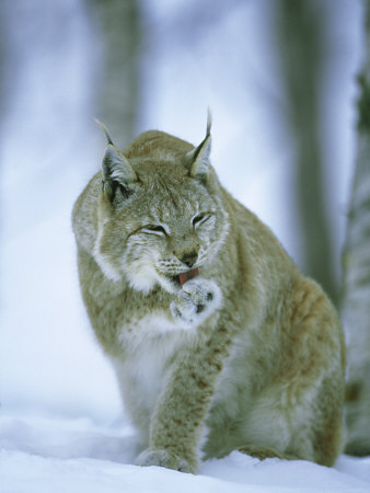 European Lynx, Female Grooming Foot, Norway Photographic Print by Mark Hamblin