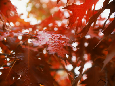 Raindrops on Oak Leaves Photographic Print by Gary Conner