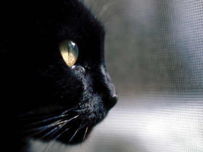 Black Cat Looking Out a Window Photographic Print by Robert Ginn