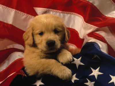 Golden Retriever and Golden Doodle puppies for sale in Wisconsin.