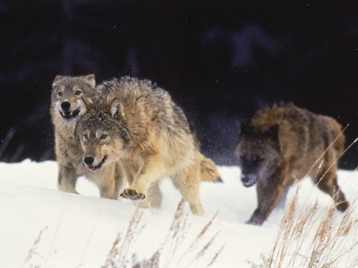 Pack of Timber Wolves (Canis Lupus) Photographic Print by Elizabeth DeLaney