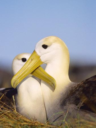 Waved Albatross, Pair Bonding, Espanola Island, Galapagos Fotografie-Druck von Mark Jones