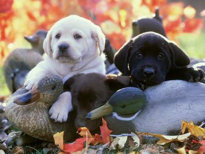 Black, Yellow and Chocolate Labrador Pups Resting on Duck Decoys