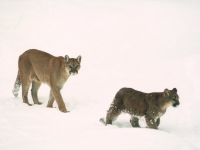 Mountain Lion, with Cub in Snow, USA Stampa fotografica di Mary Plage
